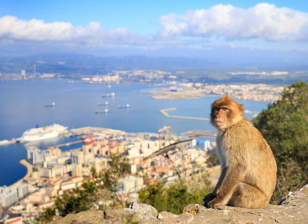 Barbary Macaque with harbour seascape in background – Foto