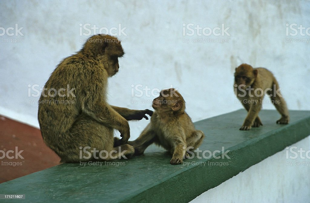 Barbary macaques, Gibraltar stock photo