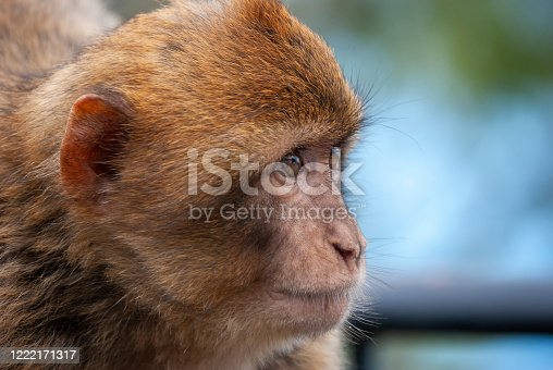 Barbary Macaques (Macaca sylvanus) in Gibraltar