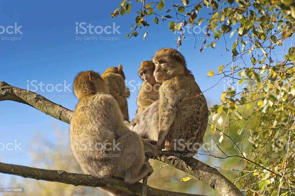 Barbary Macaques preening royalty-free stock photo