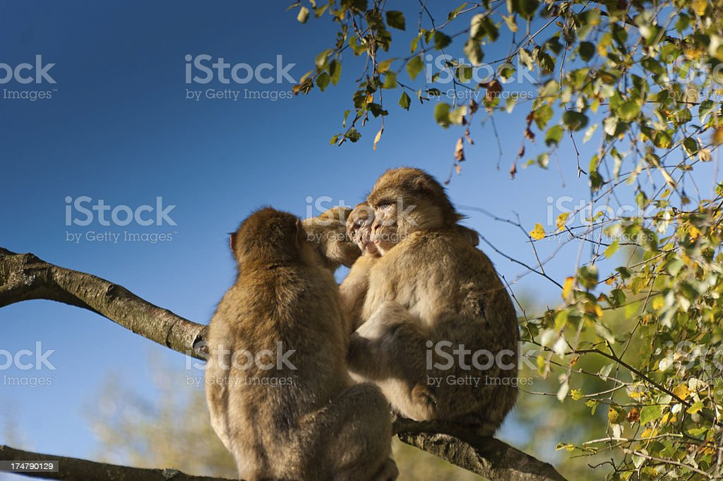 Barbary Macaques preening royalty-free stock photo