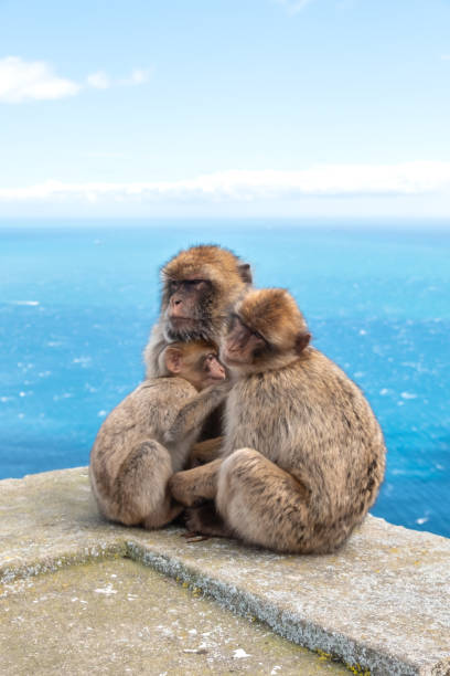 barbary macaques, with young, at rock of gibraltar - macaco foto e immagini stock