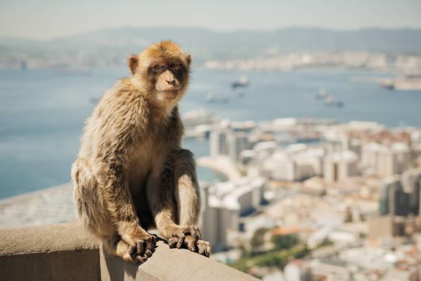 singe de barbarie à gibraltar - singe magot photos et images de collection