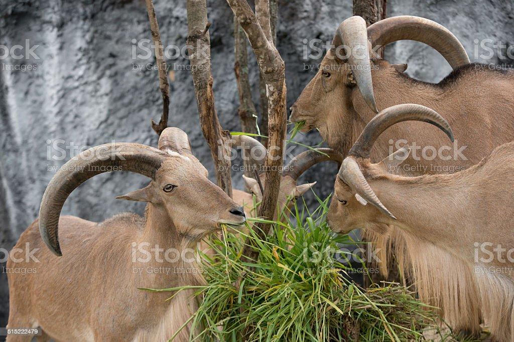 barbary sheep eating green grass stock photo