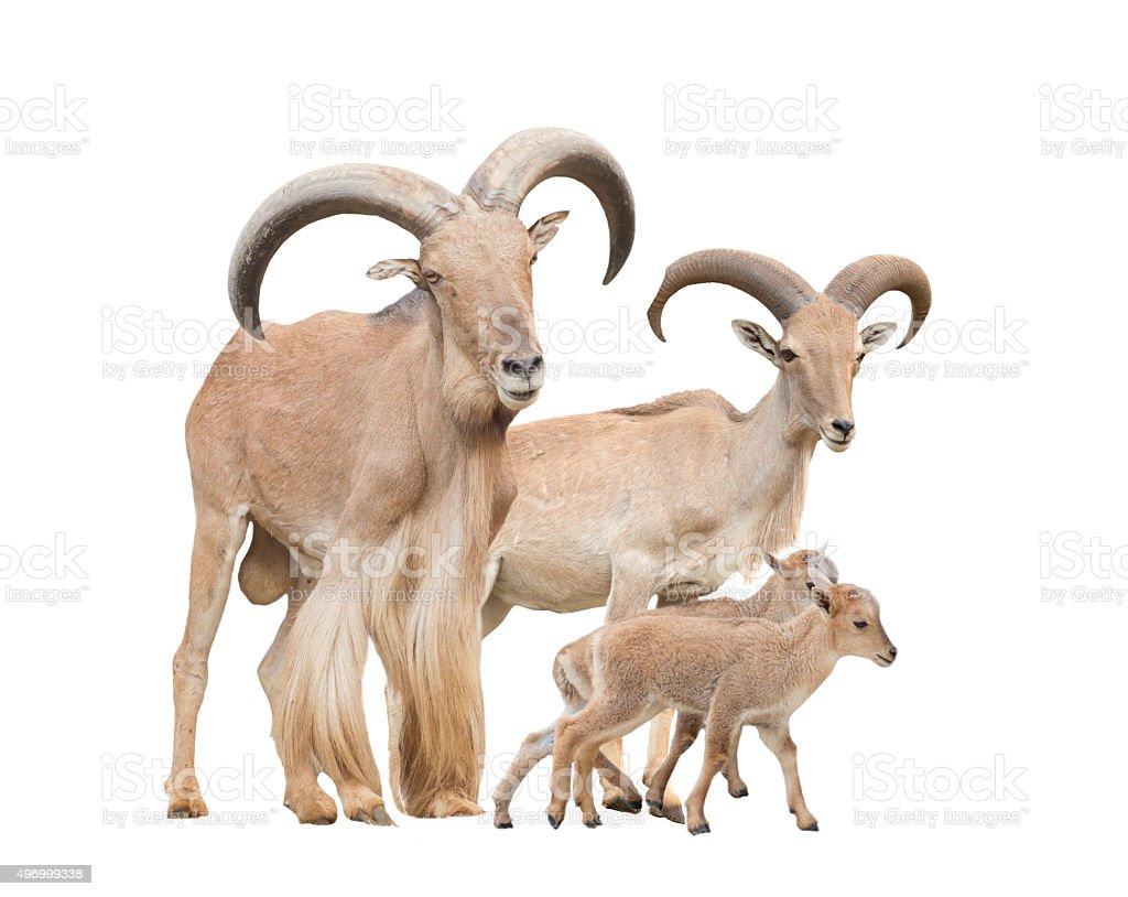 barbary sheep family stock photo