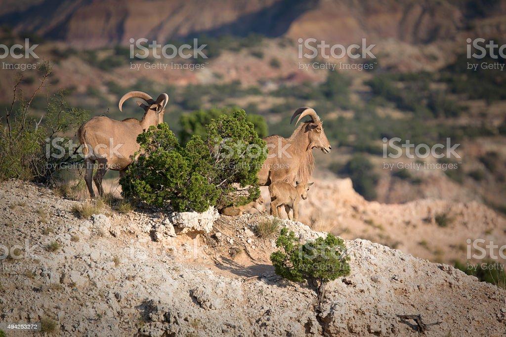 Barbary sheep in Palo Duro canyon stock photo
