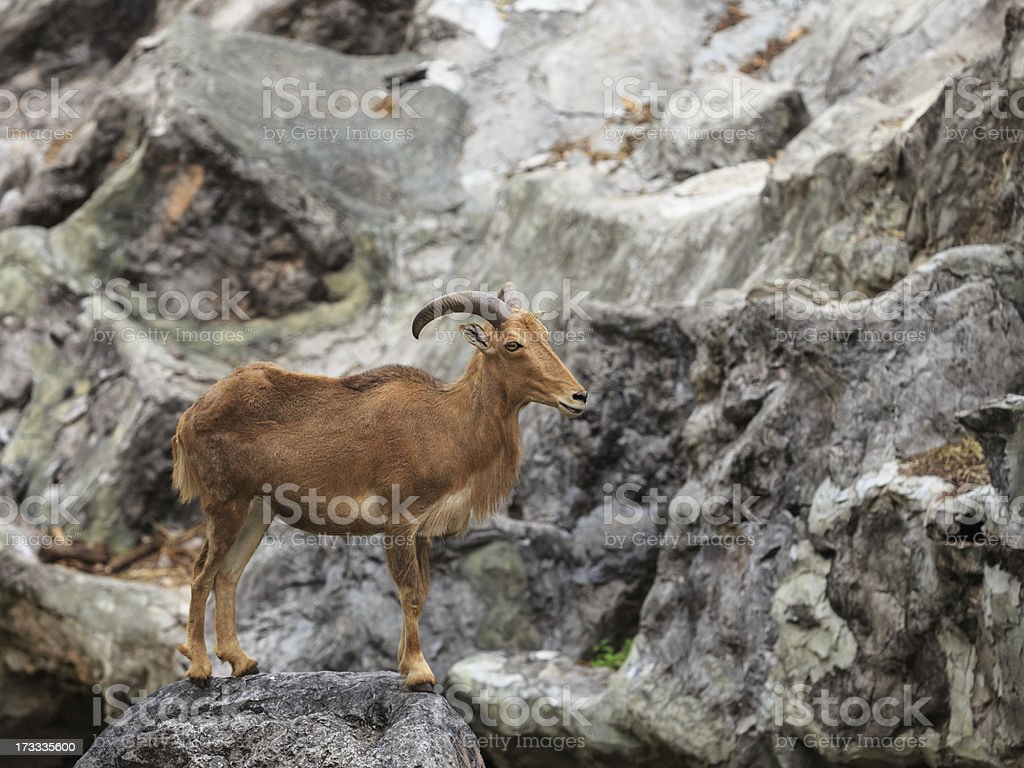 Barbary sheep native to rocky mountains in North Africa stock photo