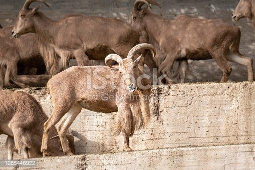 Barbary sheep (Ammotragus lervia) or Atlas mouflon on concrete stairs