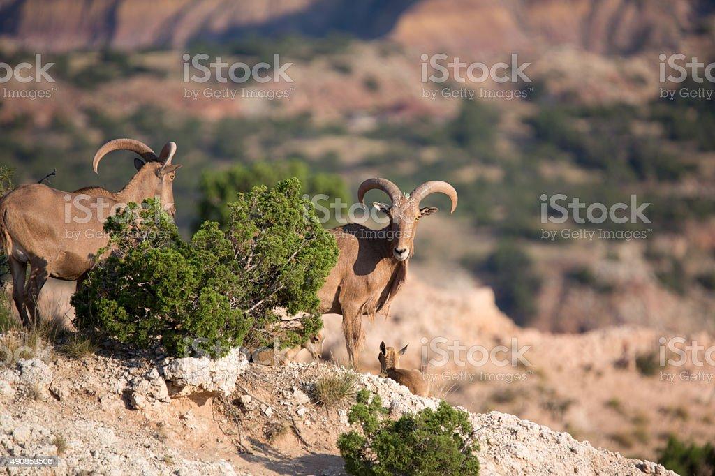 Barbary Sheep, Palo Duro Canyon, Texas stock photo
