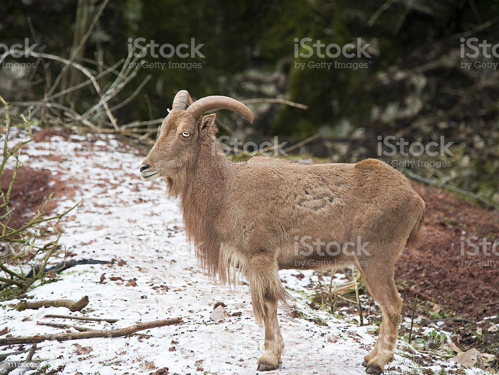 Barbary Sheep royalty-free stock photo