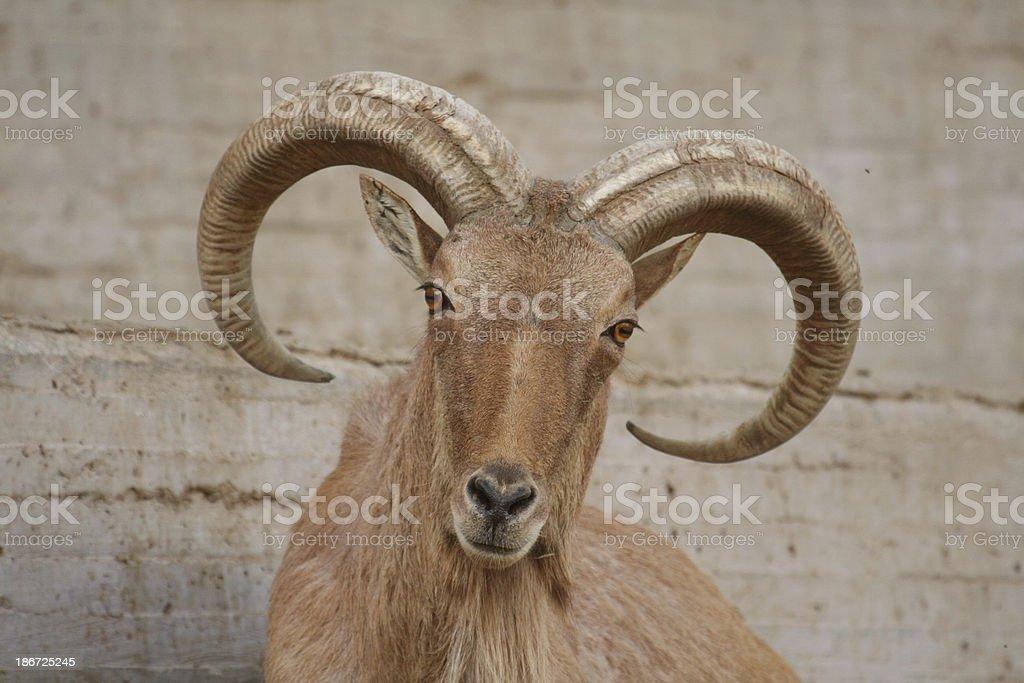 Barbary sheep stock photo