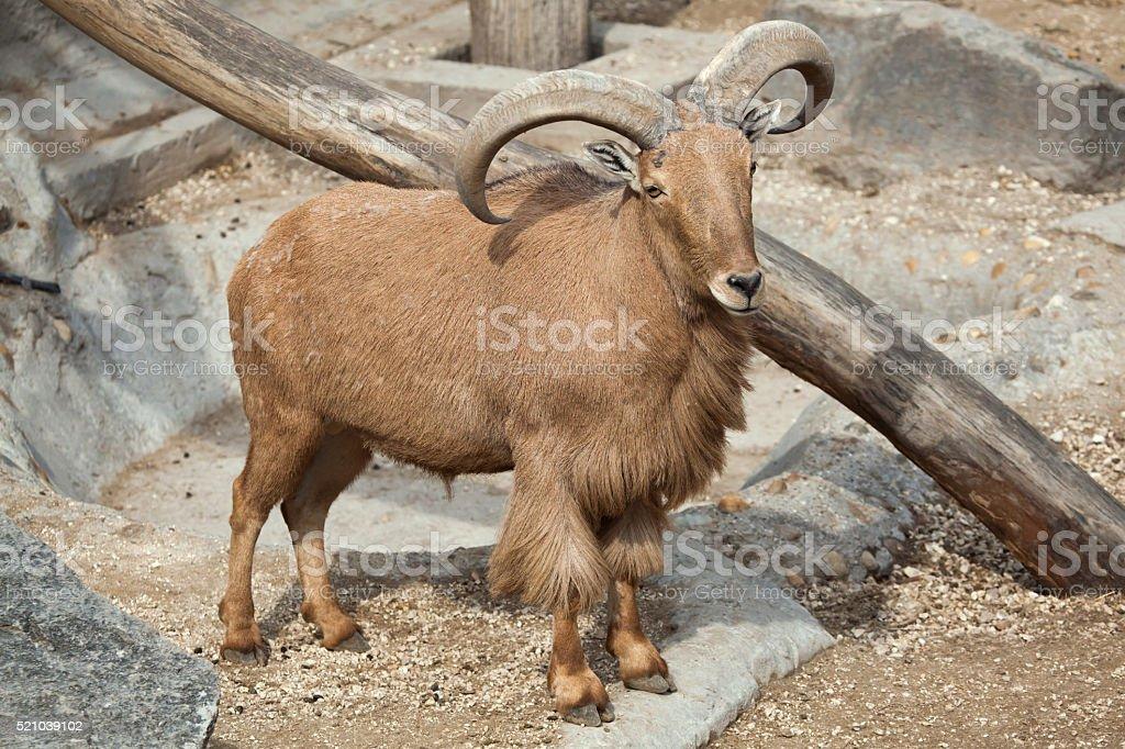 Barbary sheep (Ammotragus lervia). stock photo