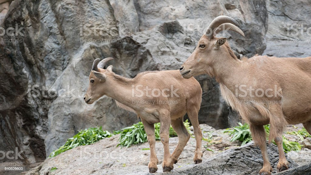 barbary sheep standing on rock hill stock photo