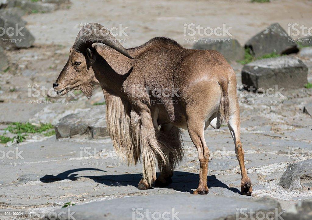 Barbary sheep standing on rocks stock photo