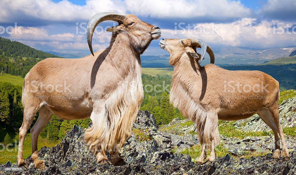 barbary sheeps  on rock in wildness stock photo