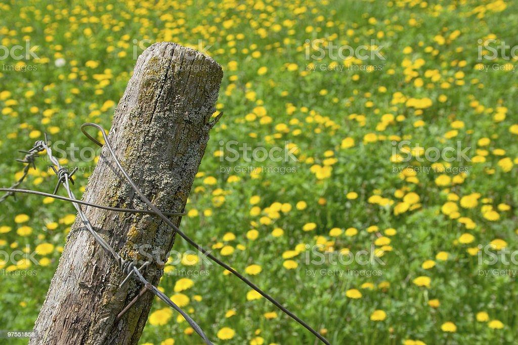 Fil barbelé et fleurs photo libre de droits