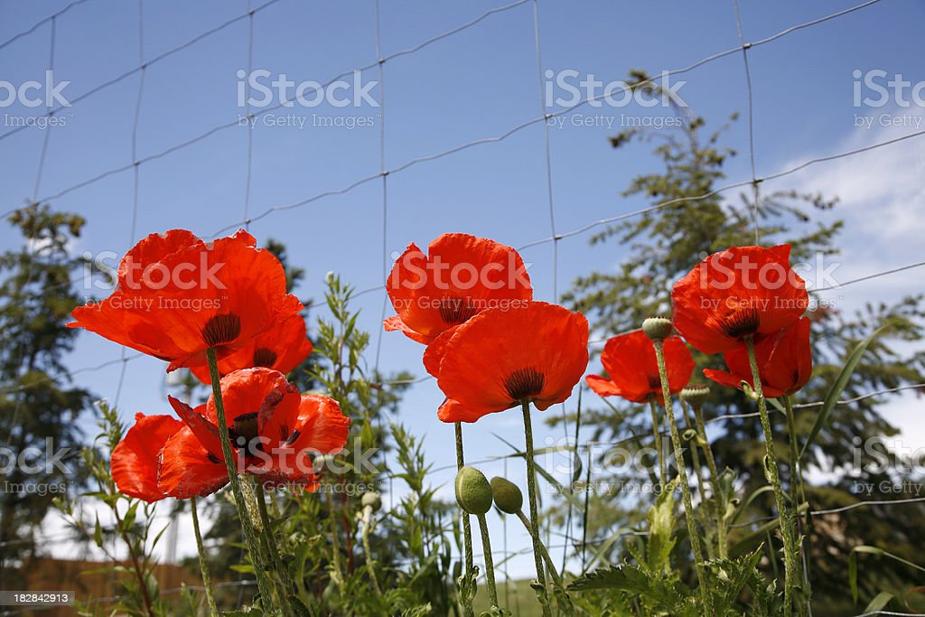 Barbed Wire Fence And Red Opium Poppies royalty-free stock photo