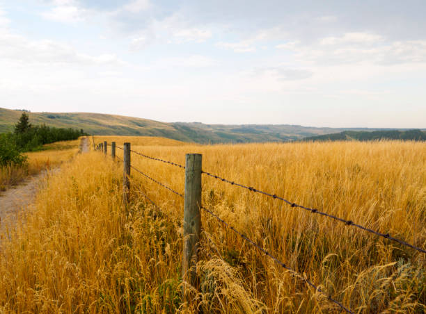 Barbed wire fence running parallel to a dirt pathway surrounded by tall native indian grass in Alberta stock photo