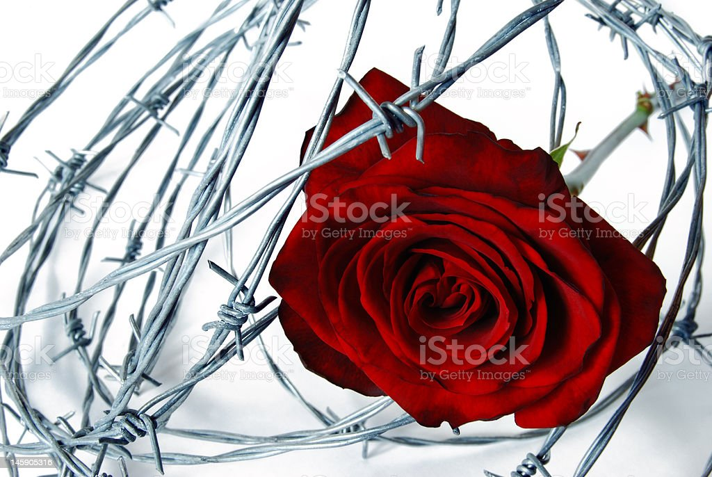 barbed wired rose royalty-free stock photo