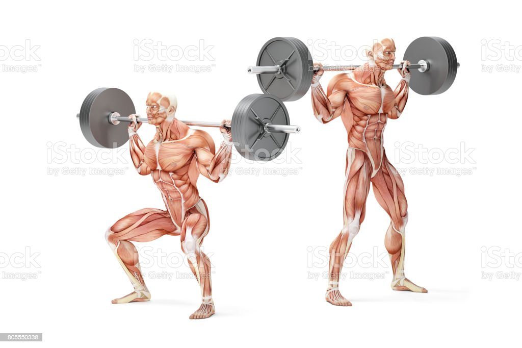 Barbell Squat Exercise. Anatomical 3D illustration. Isolated with clipping path stock photo