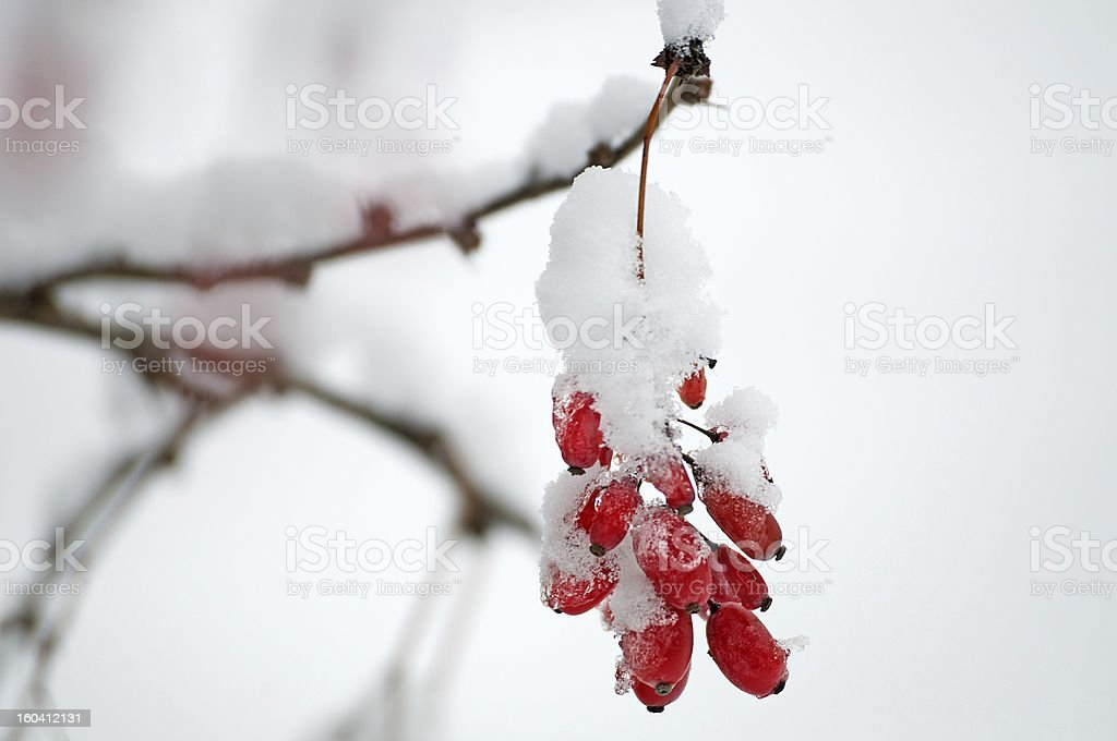 Barberries in a snow royalty-free stock photo
