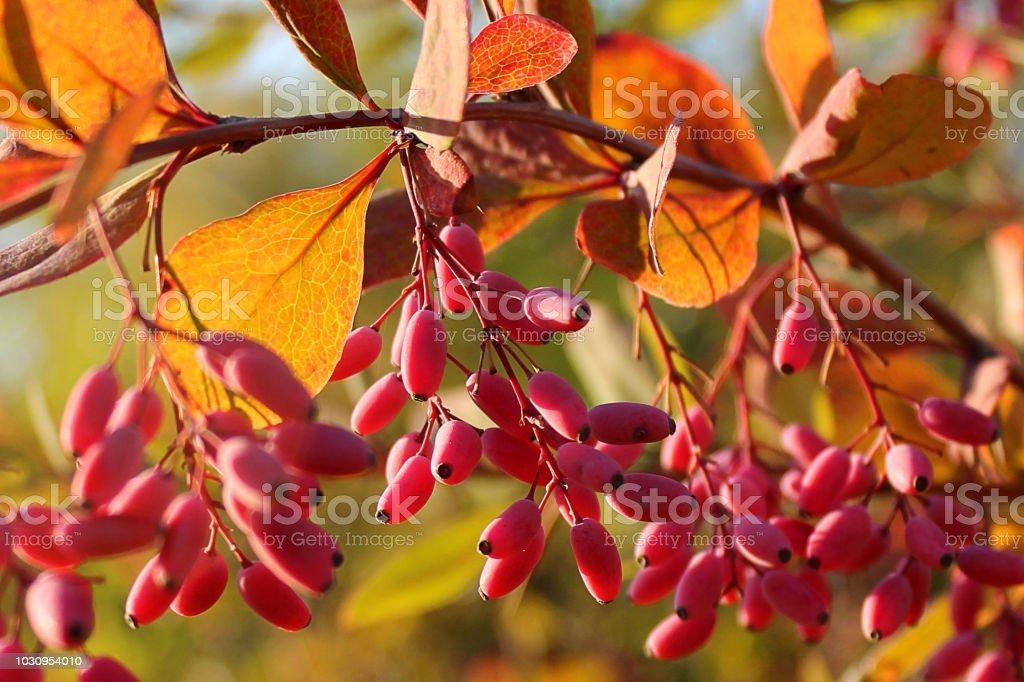 Barberry (Berberis vulgaris, Berberis thunbergii, Latin Berberis Coronita) berries on branch on autumn background in sunlight. Branches of a bright red berberis shrub against a blurry yellow background in autumn in sunlight.