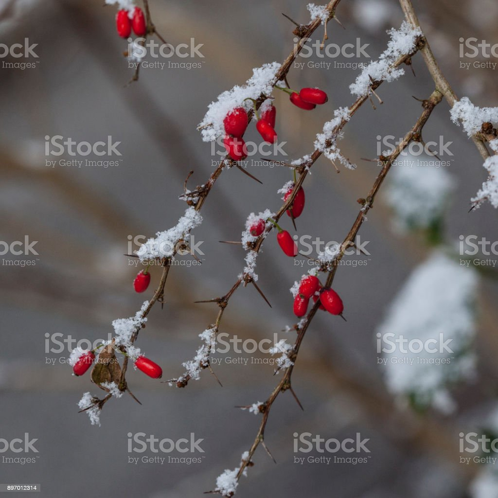 Barberry Branches with Snow stock photo