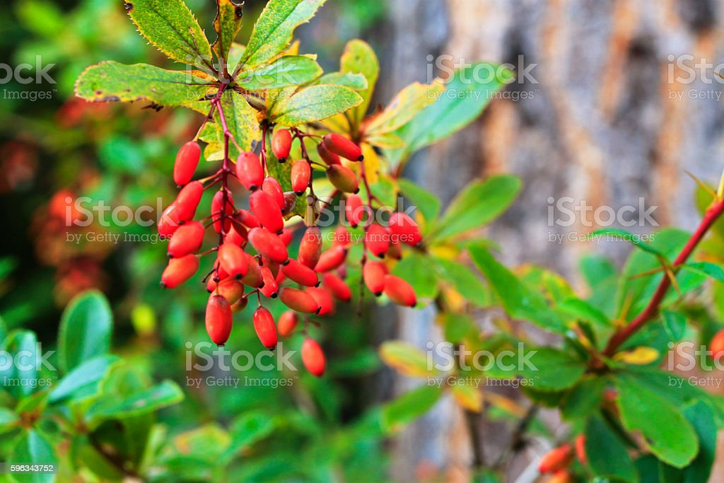 Barberry growing on the branch in autumn time stock photo