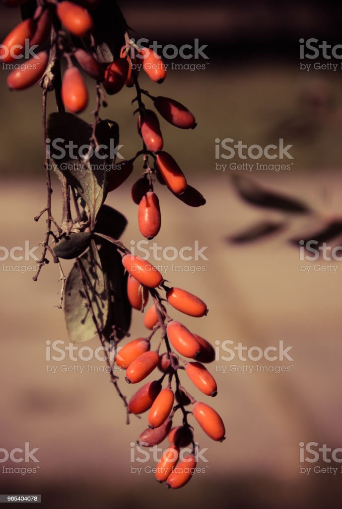 Barberry hangs from a tree branch in a city park royalty-free stock photo