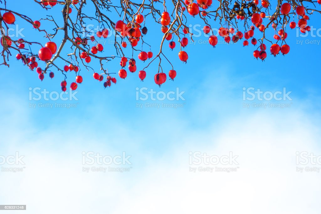 Barberry In Fog stock photo