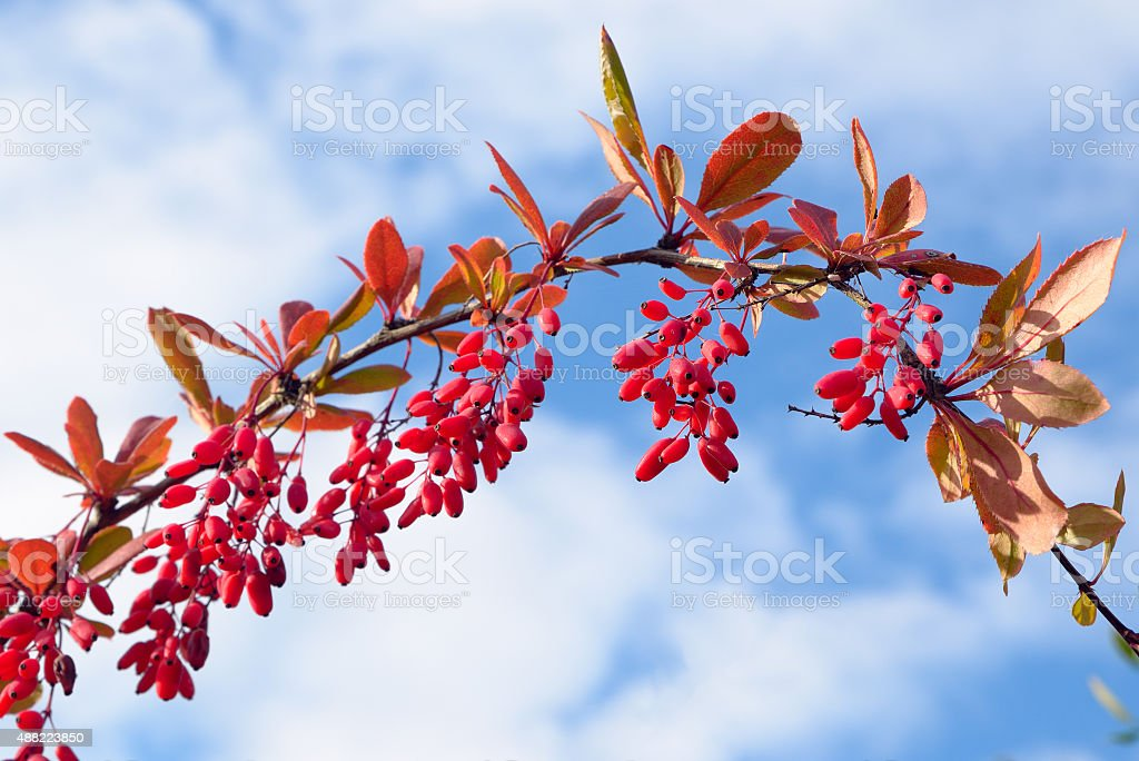 Barberry stock photo
