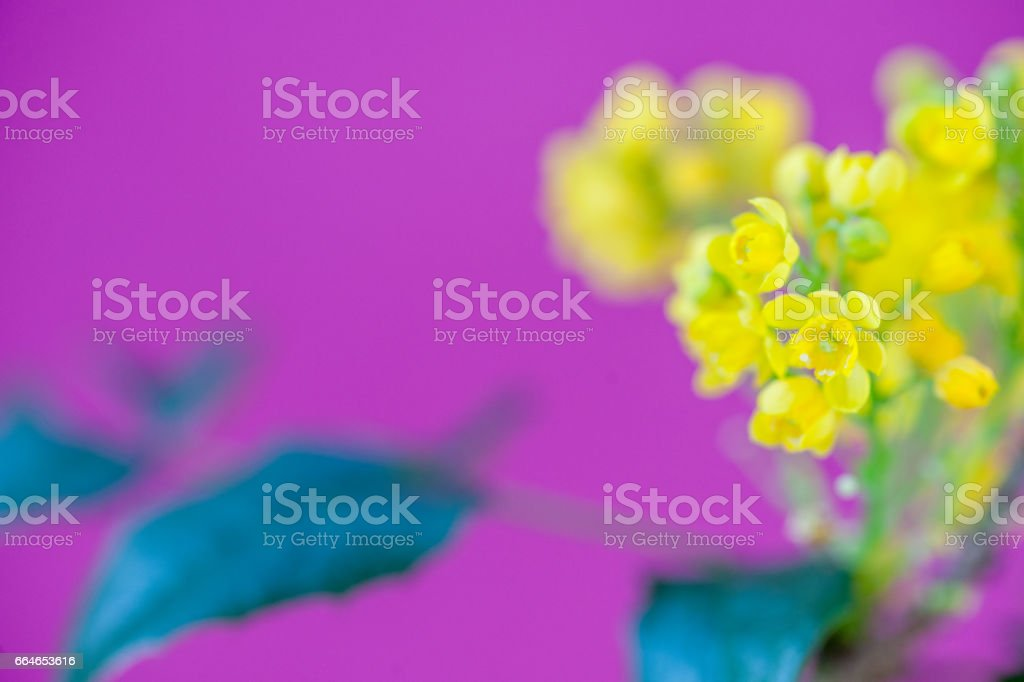 Barberry Yellow Flower On Purple Background - Close Up stock photo