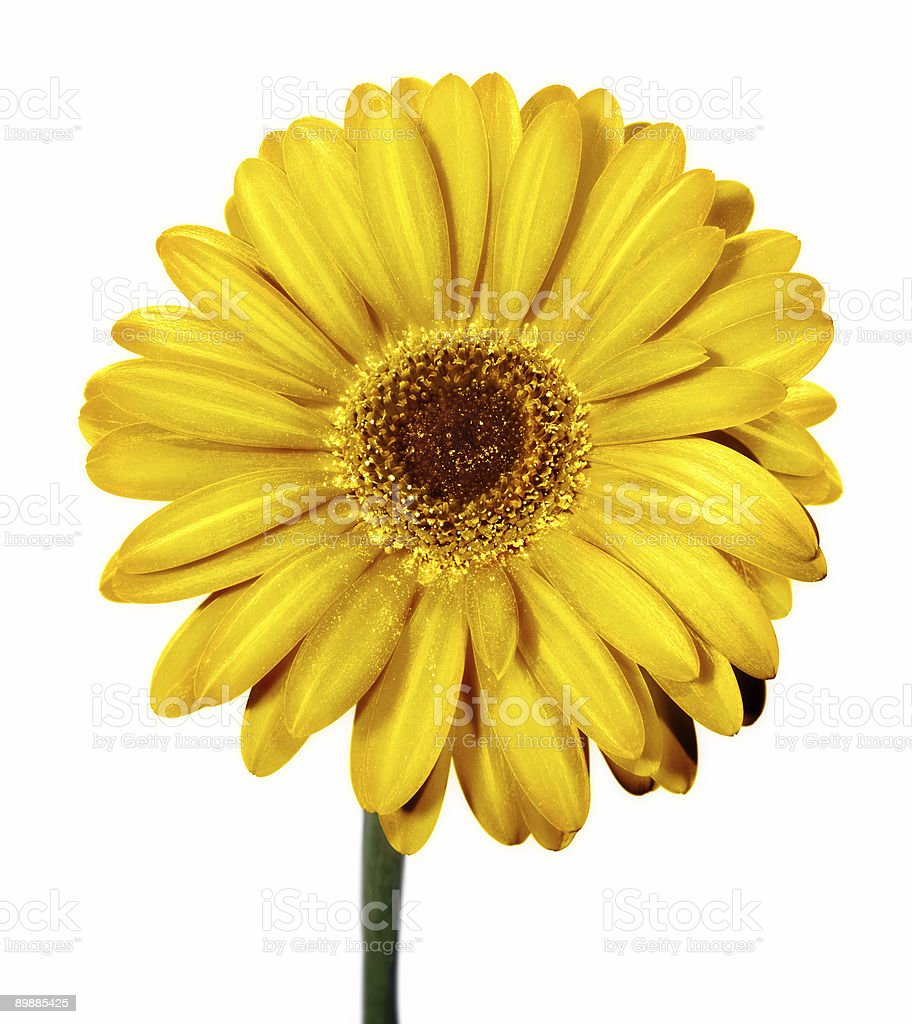 Gerbera jemsonii gelbe Blume Lizenzfreies stock-foto