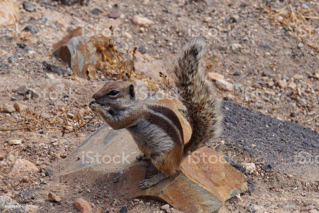 Barbery Ground Squirrel - Atlashörnchen - Atlantoxerus Getulus stock photo