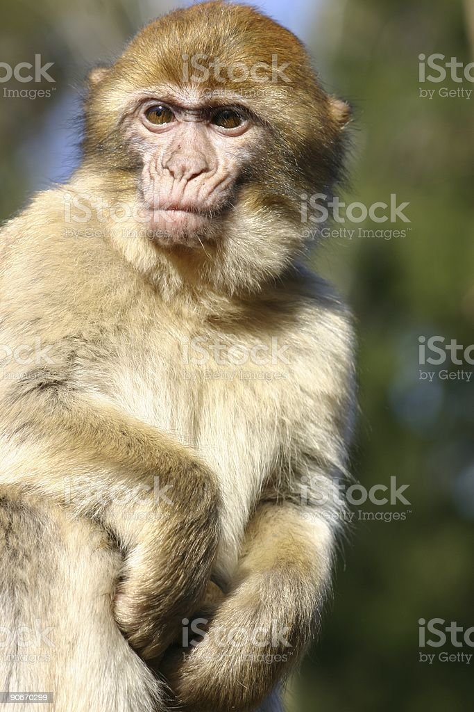Barbery monkey stock photo