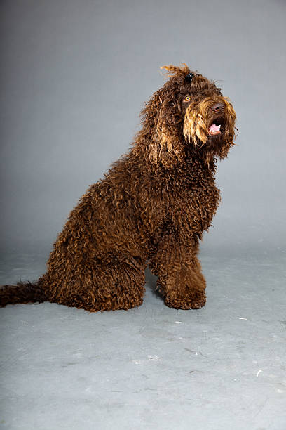 Barbet Hund, isoliert auf grauem Hintergrund. Brown-Water Dog. – Foto