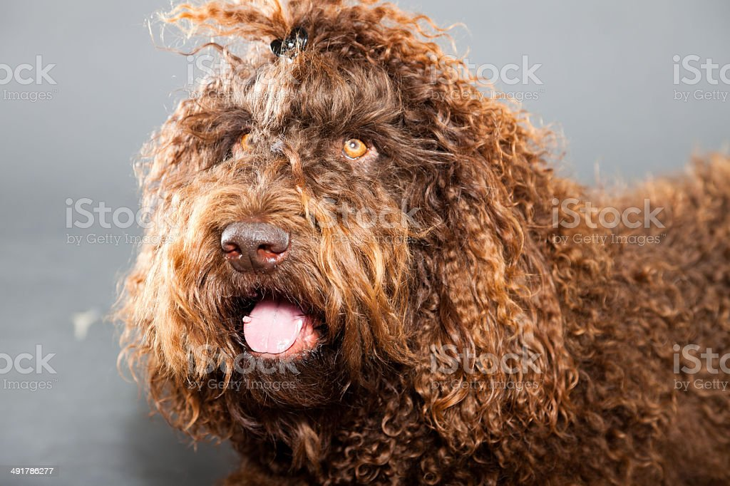 Barbet dog isolated on grey background. Brown French Water Dog. stock photo