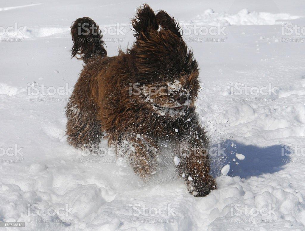 Barbet in Snow stock photo