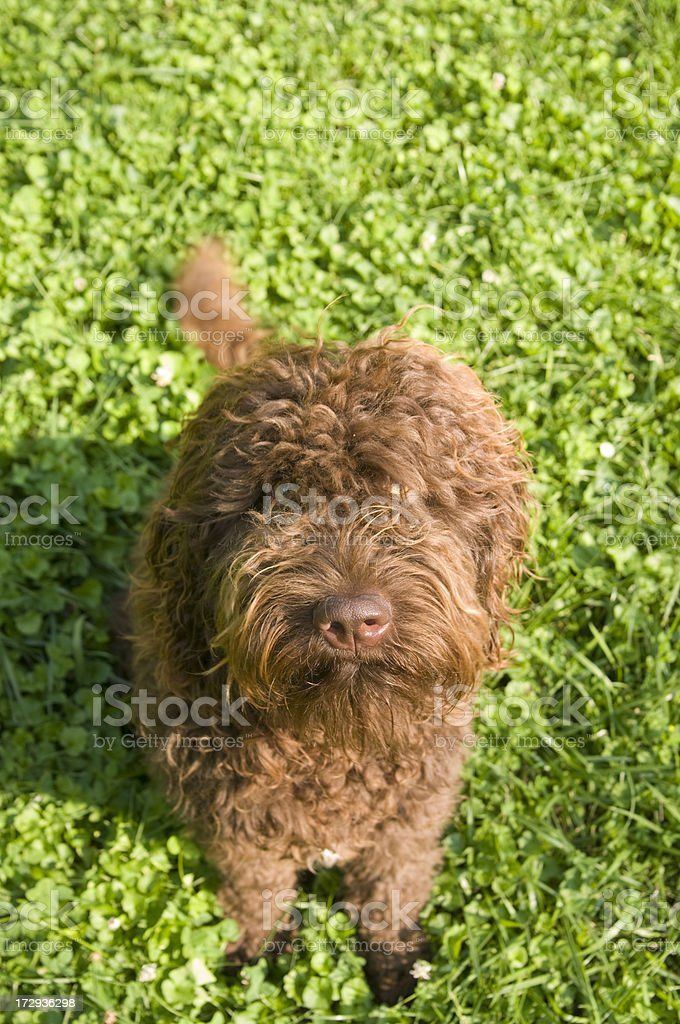 Barbet (French Water Dog) stock photo