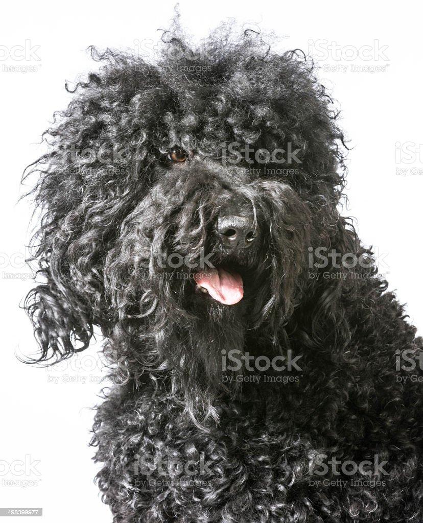 barbet portrait stock photo