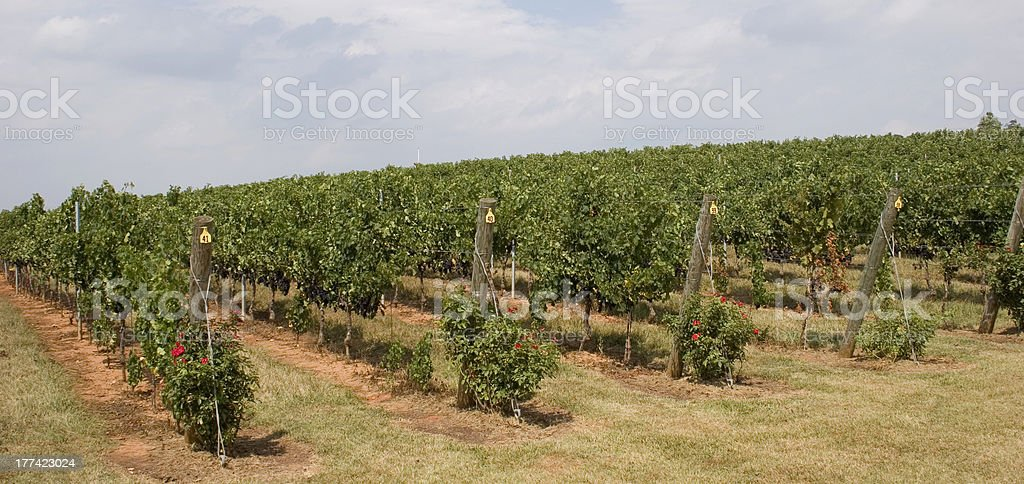 Barboursville Vineyards Grape Vines stock photo