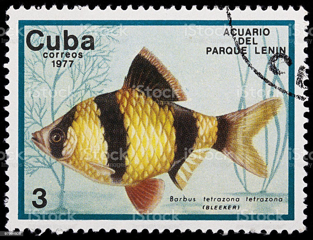 Barbus tetrazona fish on old cuban stamp royalty-free stock photo