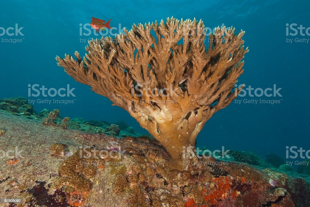 barching coral with fish royalty-free stock photo