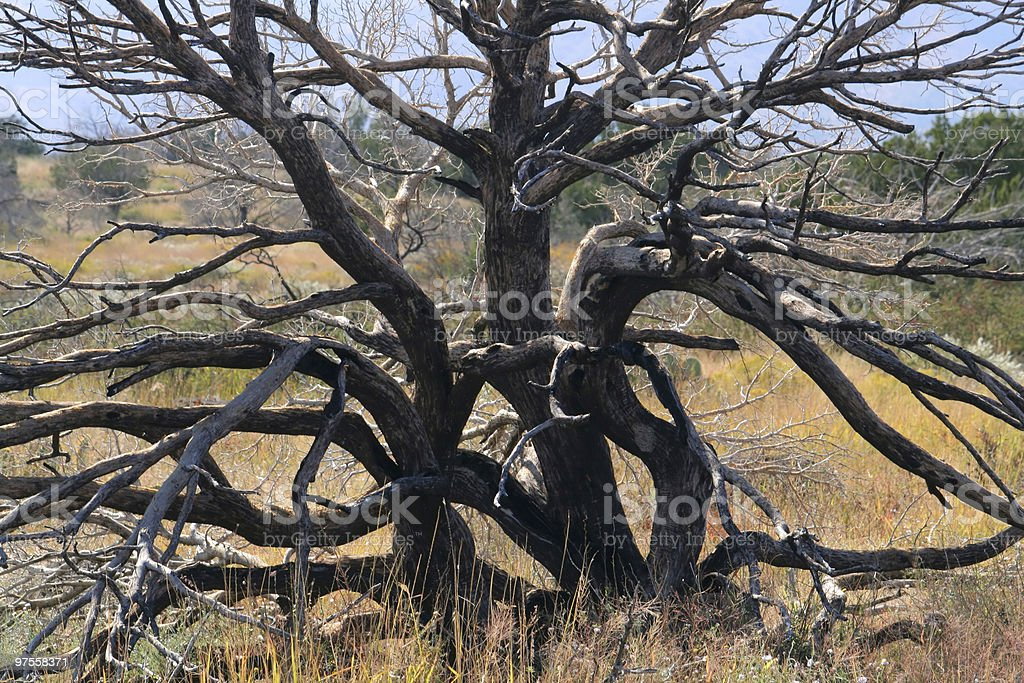Bare Gnarled Juniper Tree royalty-free stock photo