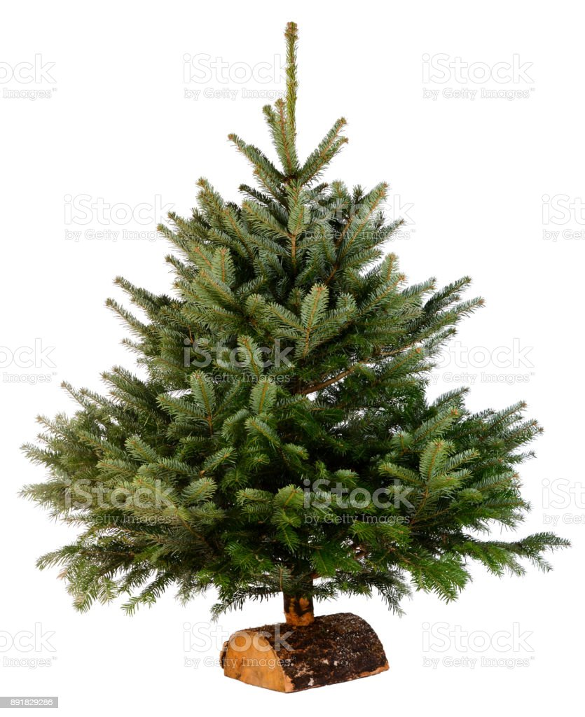Bare Naked Abies Nordmann Fir Christmas Tree Isolated On A White ...