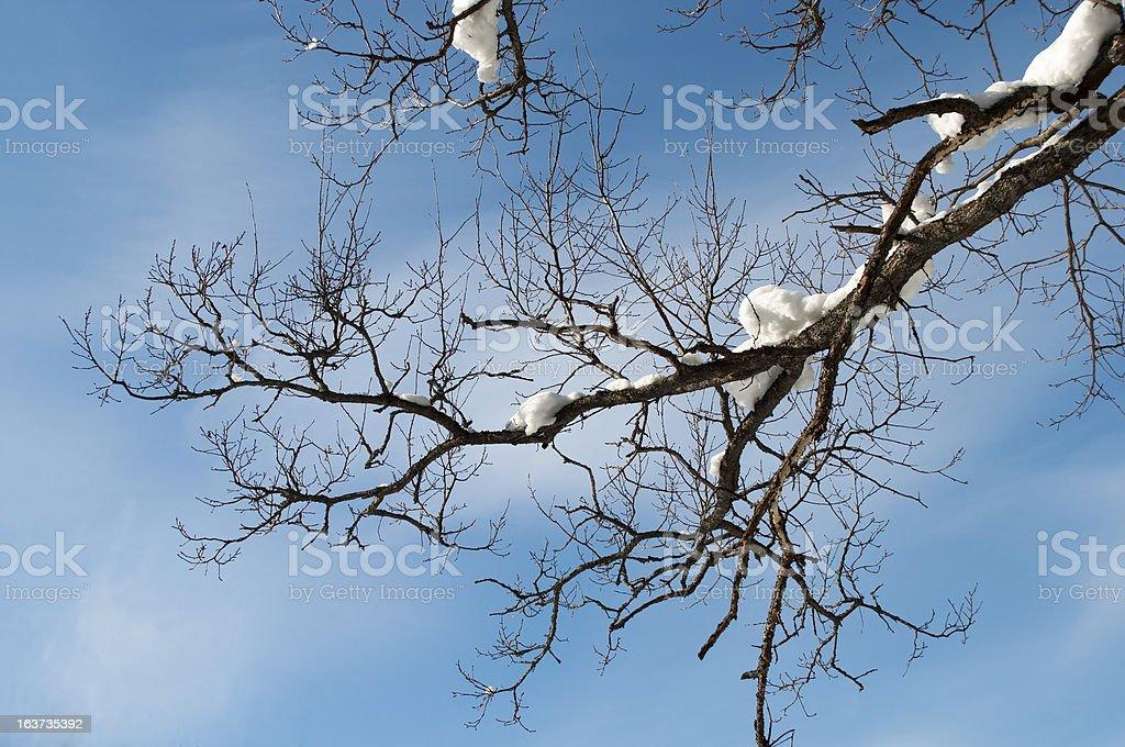 Bare oak branch in winter royalty-free stock photo