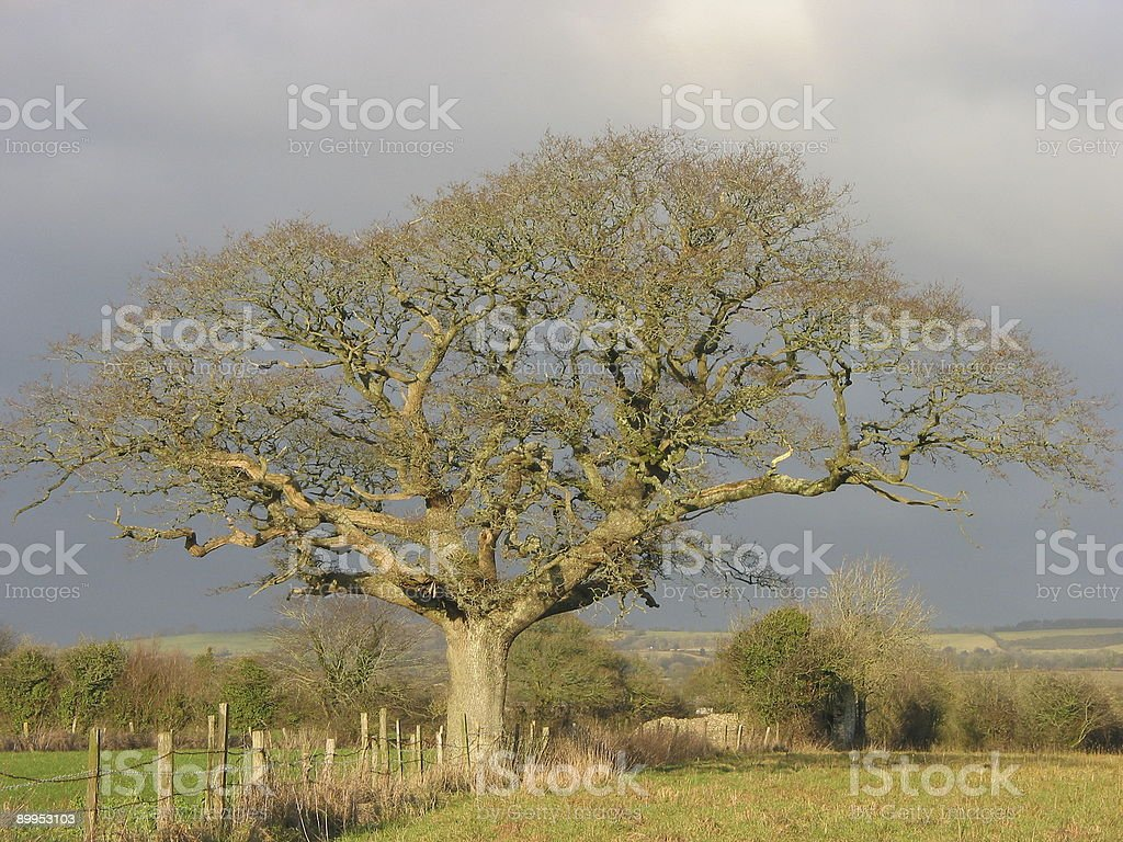 Bare Oak royalty-free stock photo