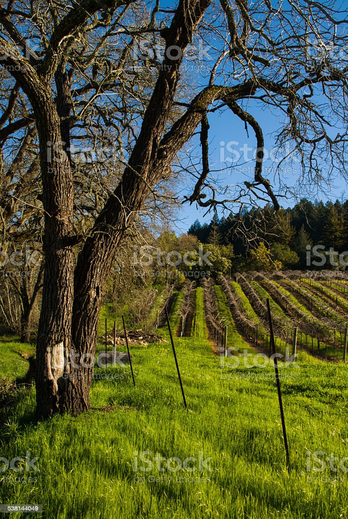 Bare Oak Trees dormant Vineyards near Calistoga Napa Valley California stock photo