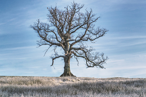 Bare oaktree on a winter morning