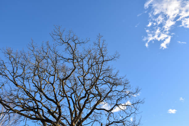 Bare old oak tree by a blue sky stock photo